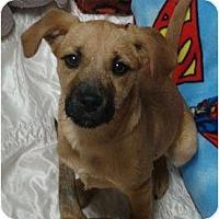 Adopt A Pet :: Daphne - scooby litter - Phoenix, AZ