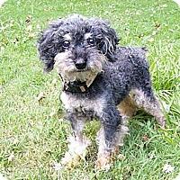 Adopt A Pet :: Blue - Mocksville, NC