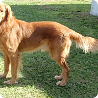 Adopt A Pet :: Nicholas - Murdock, FL