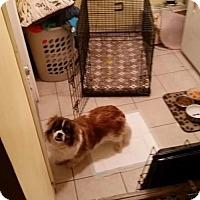 Adopt A Pet :: Benji - Brooklyn, NY