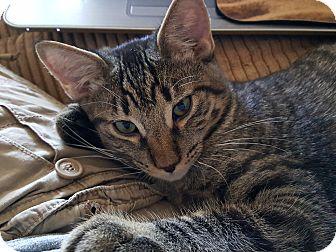 Domestic Shorthair Kitten for adoption in Yuma, Arizona - Randy-Roy