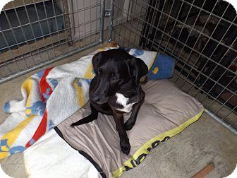 Labrador Retriever Puppy for adoption in Quincy, Indiana - Zila