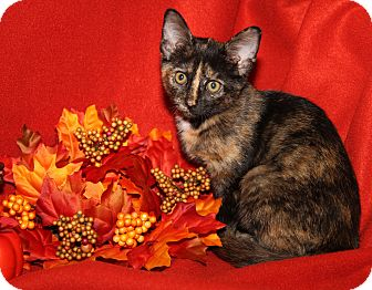 Domestic Shorthair Kitten for adoption in Marietta, Ohio - Hannah (Spayed)