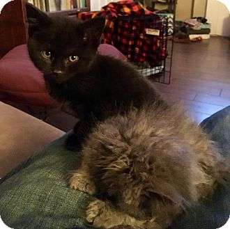 Bombay Kitten for adoption in Denver, Colorado - Mila