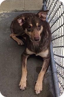 Shepherd (Unknown Type)/Husky Mix Dog for adoption in Greensburg, Pennsylvania - Jasper