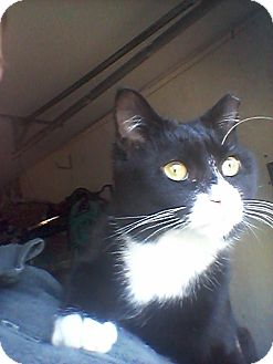 Domestic Shorthair Cat for adoption in Waldorf, Maryland - Anna