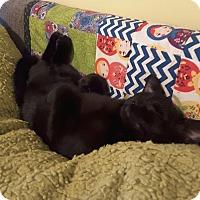 American Shorthair Kitten for adoption in New York, New York - Cello the explorer!