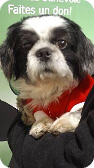 Shih Tzu Mix Dog for adoption in Pierrefonds, Quebec - PonPon