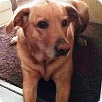 Adopt A Pet :: BELLA 2 - Emotional Support Animal - DeLand, FL