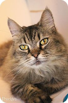 Maine Coon Cat for adoption in Benton, Louisiana - Freckles