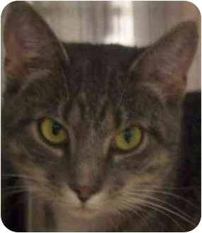 Domestic Shorthair Cat for adoption in Annapolis, Maryland - Lucy