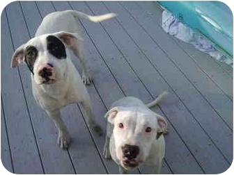 Pit Bull Terrier Mix Puppy for adoption in Little River, South Carolina - Batman