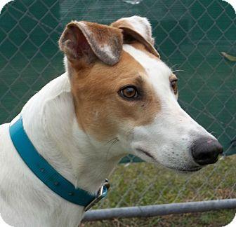 Greyhound Dog for adoption in Longwood, Florida - Starz Harper
