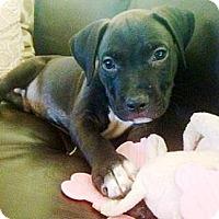 Adopt A Pet :: Freddie - Gilbert, AZ