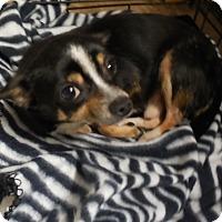 Adopt A Pet :: Biggie - Ormond Beach, FL