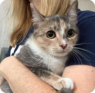Domestic Shorthair Cat for adoption in Centerville, Georgia - Merle
