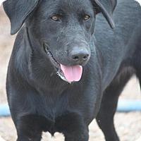 Labrador Retriever Mix Dog for adoption in Jewett City, Connecticut - Karana