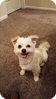 Yorkie, Yorkshire Terrier Mix Dog for adoption in Gig Harbor, Washington - Corky