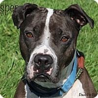 Adopt A Pet :: Jasper - Troy, MI