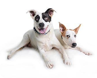 Labrador Retriever/Cattle Dog Mix Dog for adoption in Wilmington, Delaware - Lily (fka Tamara)