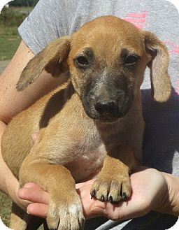 Dachshund Mix Puppy for adoption in Rochester, New York - Buster Brown