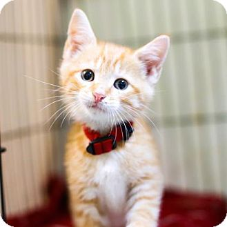 Domestic Shorthair Kitten for adoption in Austin, Texas - Berg