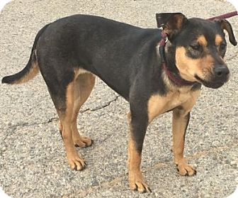 Shepherd (Unknown Type) Mix Dog for adoption in Canoga Park, California - Carly