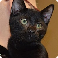 Domestic Shorthair Kitten for adoption in Ashtabula, Ohio - Dimmer