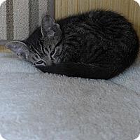 Adopt A Pet :: Sophia - Lighthouse Point, FL