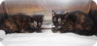 Domestic Mediumhair Kitten for adoption in Marietta, Georgia - GEMMA & GINGER - available 10/