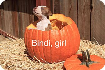 American Pit Bull Terrier Mix Puppy for adoption in Sonoma, California - Bindi