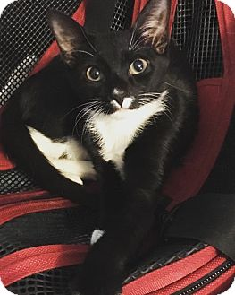 Domestic Shorthair Kitten for adoption in Old Bridge, New Jersey - George