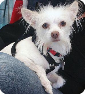 Yorkie, Yorkshire Terrier/Papillon Mix Dog for adoption in Phoenix, Arizona - Bitsy