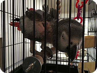 African Grey for adoption in Punta Gorda, Florida - Zuie