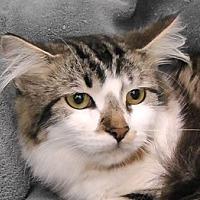 Domestic Mediumhair Cat for adoption in Redondo Beach, California - Josie