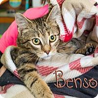Domestic Shorthair Cat for adoption in Somerset, Pennsylvania - Benson