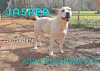 Labrador Retriever/American Pit Bull Terrier Mix Dog for adoption in Blakely, Georgia - Jasper
