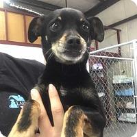 Adopt A Pet :: Buddy - Mooresville, NC