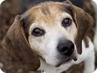 Beagle Dog for adoption in Indianapolis, Indiana - Alfie