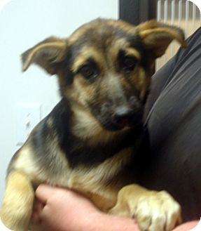 German Shepherd Dog Puppy for adoption in Greencastle, North Carolina - sasha