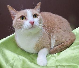 Domestic Shorthair Cat for adoption in St. Louis, Missouri - Mattie