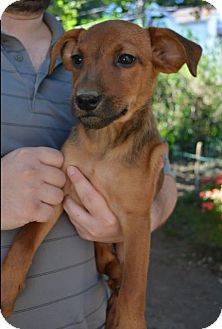 Hound (Unknown Type) Mix Puppy for adoption in Danbury, Connecticut - Fran