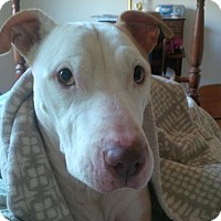 American Staffordshire Terrier Dog for adoption in Kimberton, Pennsylvania - ACE
