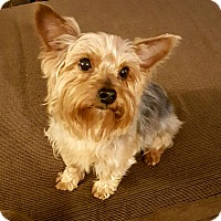 Adopt A Pet :: Sampson - Ashland City, TN