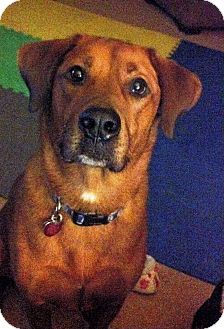 Redbone Coonhound/Rottweiler Mix Dog for adoption in Elyria, Ohio - Copper