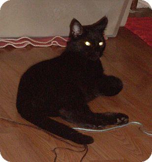 Domestic Shorthair Cat for adoption in Laguna Woods, California - Josie