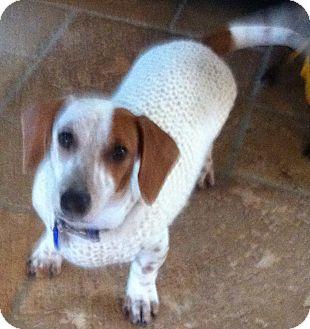 Dachshund Puppy for adoption in Irvine, California - SAMMY the Doxie