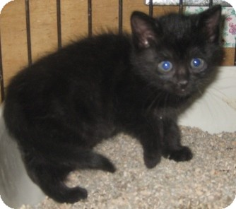 Maine Coon Kitten for adoption in Dallas, Texas - Big Bear
