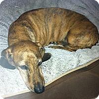 Adopt A Pet :: Taz - MD - Jacobus, PA