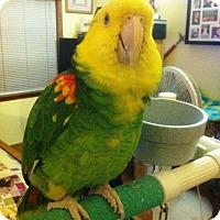 Adopt A Pet :: Angus - Lenexa, KS